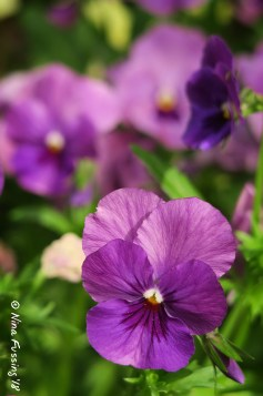 Pansies in full bloom