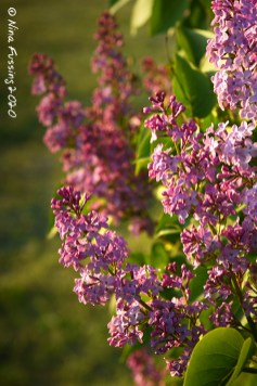 Lilacs (oh, so lovely)
