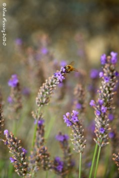Our lavender is still sustaining bees and other insects