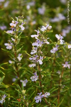 Our rosemary is already flowering