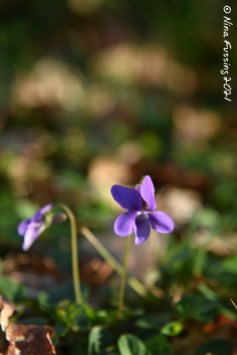 Teeny forest violets