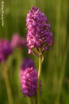 Natures pink