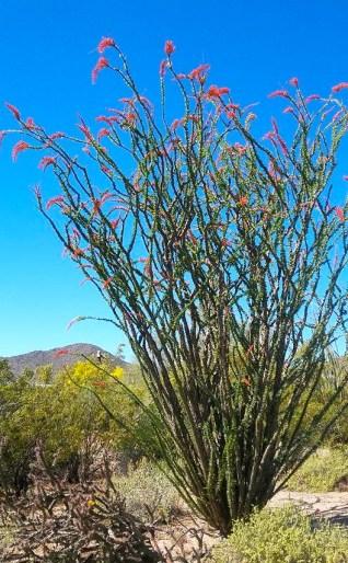 An Ocotillo in full bloom.