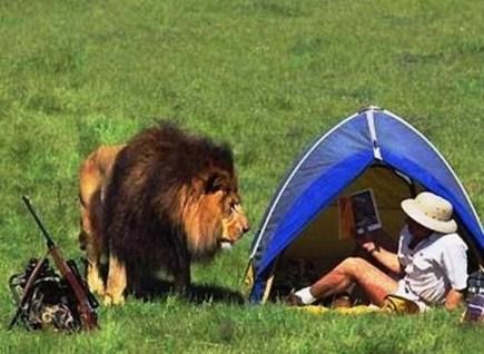 hunting-lion
