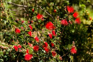 red-fairy-duster