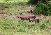 Mrs Warthog and her babies