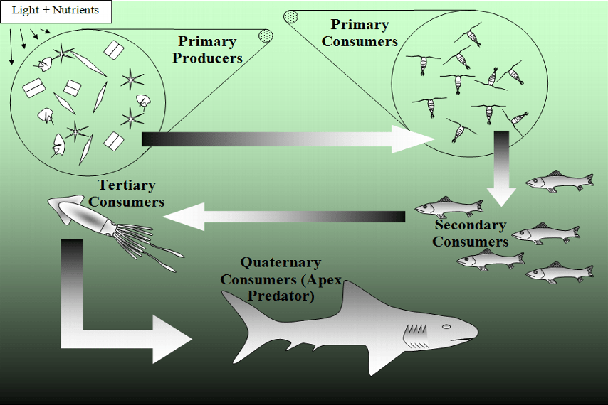 great white shark food chain diagram hpm sensor light wiring when jaws came to visit the true story of british marine