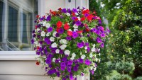Do You Have to Deadhead Petunias?