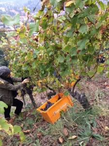 Harvesting the Pinot Gris from the steep slopes of Rangen calls for smaller baskets.