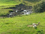 Llamas near Whaw