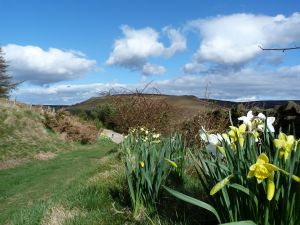 Daffs above Hasty Bank