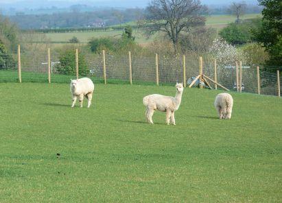 Llamas at Husthwaite