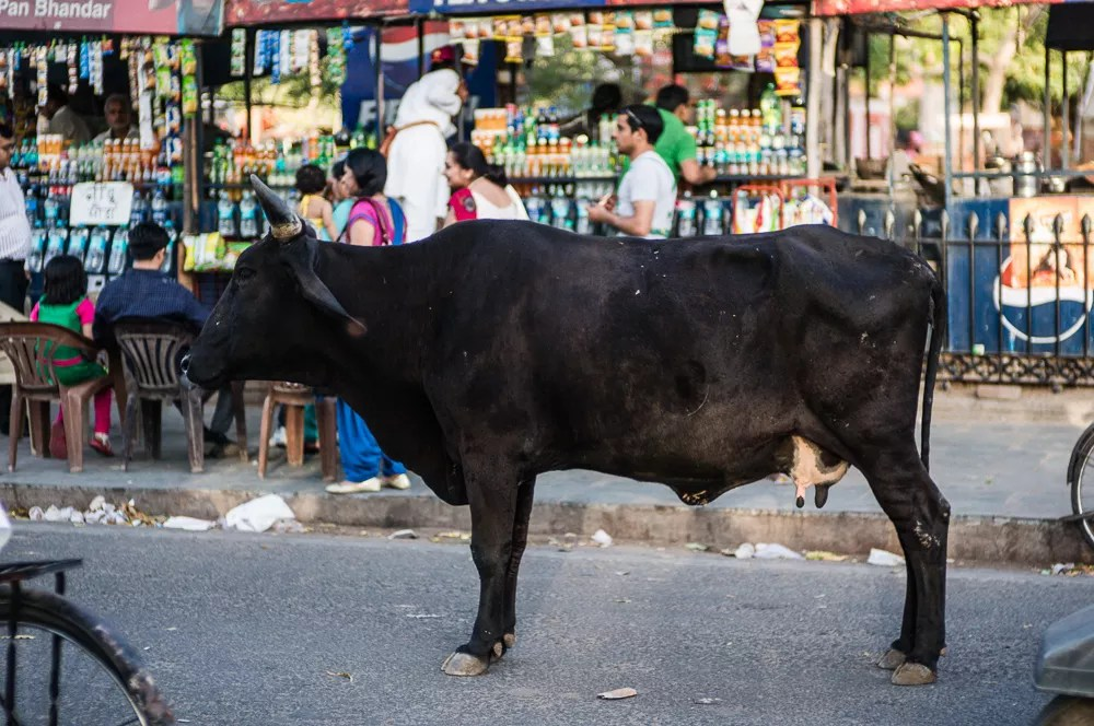 Cow In The Middle Of Street In India