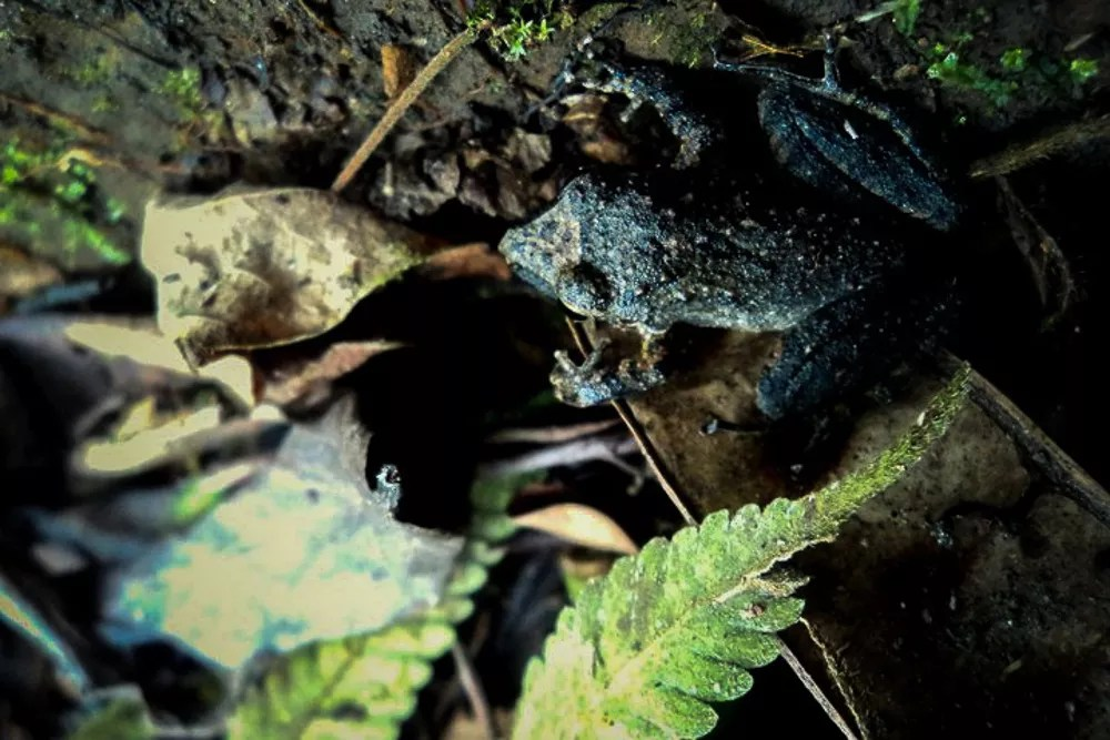 Frog Blending Into Environment in Manu Amazon Rainforest