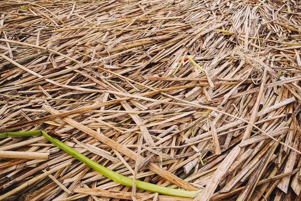 Totora Reeds Used To Make Uros Floating Islands In Puno