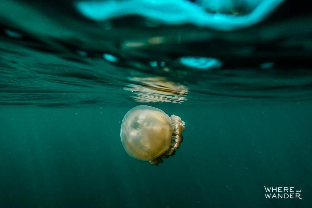 Harmless Jellyfish In Palau