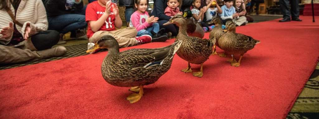 The Peabody Hotel Ducks