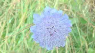 Scabious-Pincushion flower