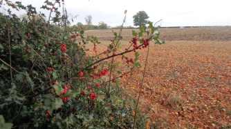 Holly berries, Hastoe