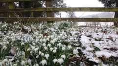 Snowdrops,-Swyncombe