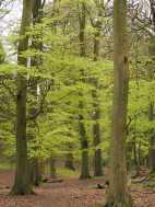 Fresh-beech-leaves