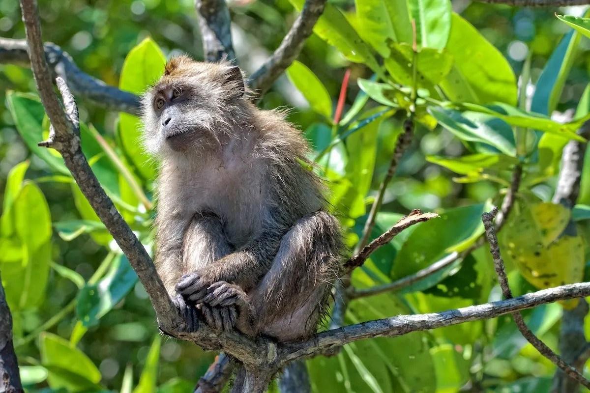 monkey-in-tree-pangkor-Malaysia