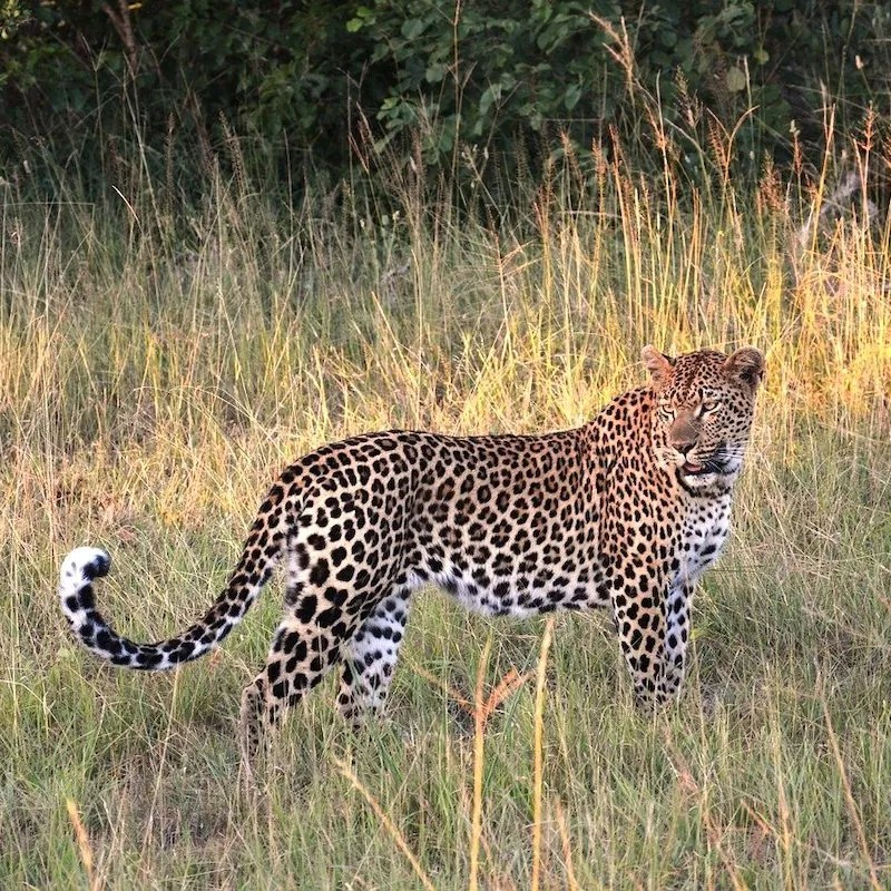 A leopard standing in tall grass in Africa
