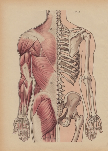 Dorsal Muscles and Bones Illustration  whereapy