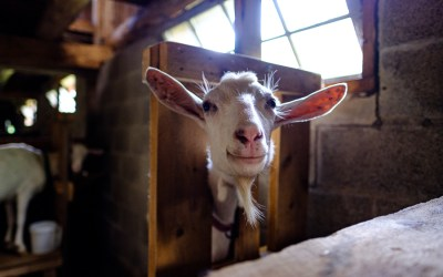 It turns out goats are good for tired souls.