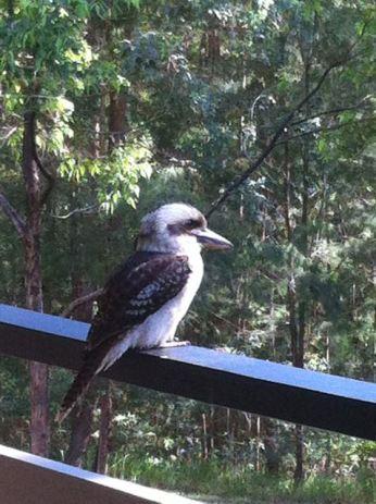 A kookaburra!