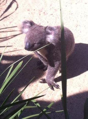 Anxious Koala