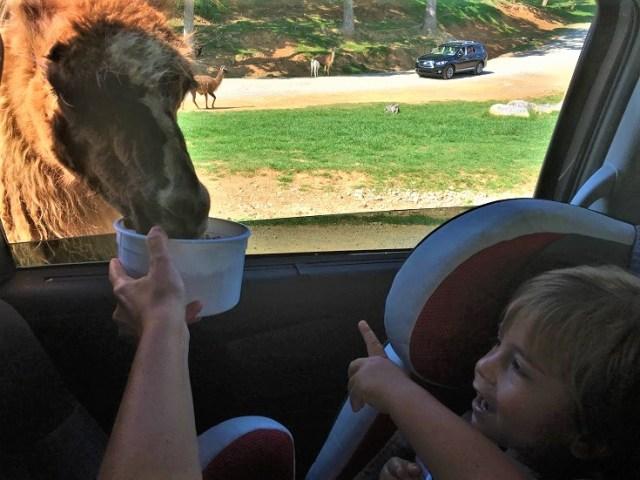 Philip feeding a Llama at Virginia Safari Park