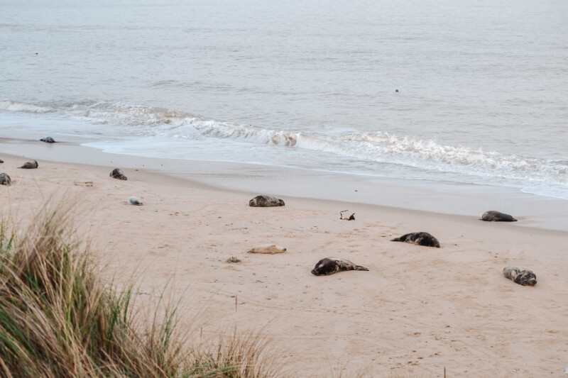 image of seals at horsey