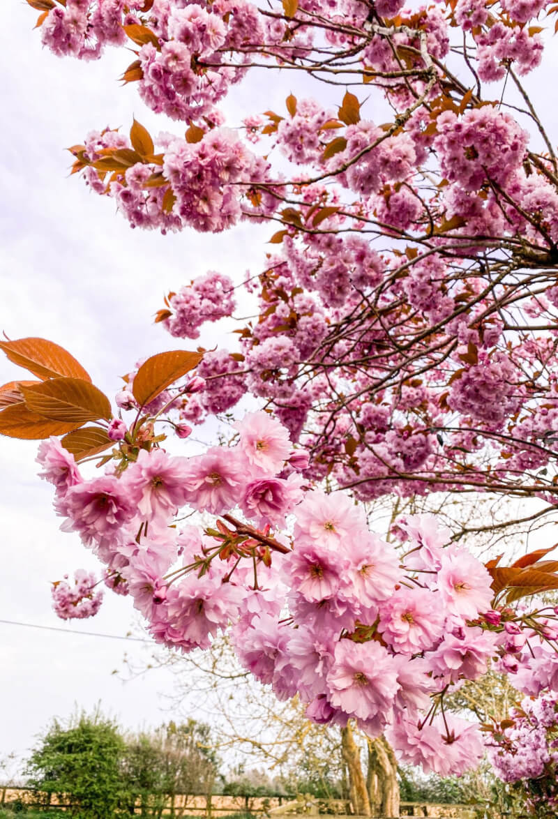 image of pink blossom