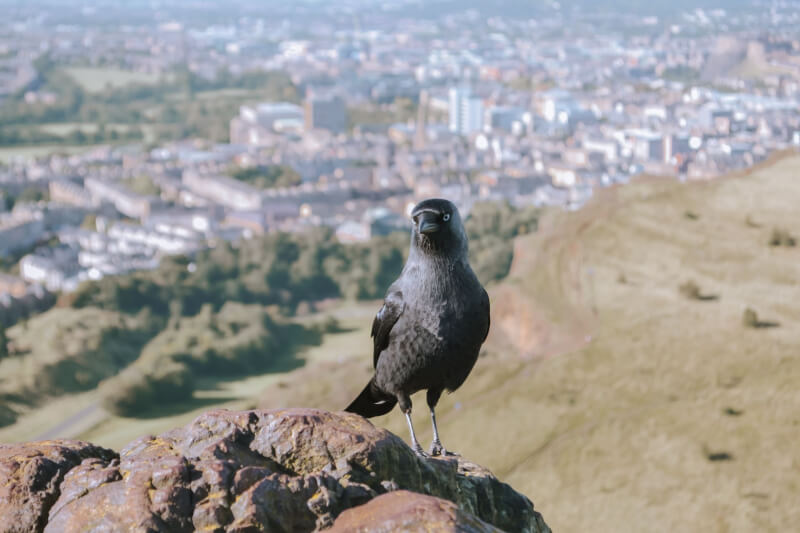 image of raven at the top of Arthur's Seat