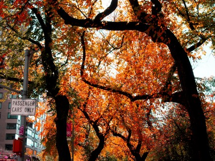 Fall Tree, Red Leaves, New York City
