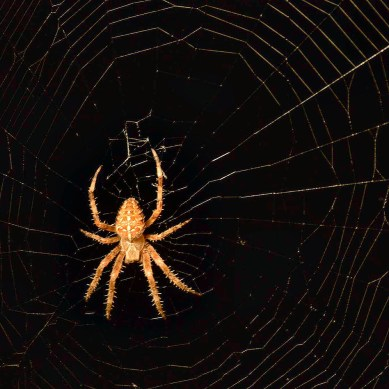 Photograph. Orange spider surrounded by it's web
