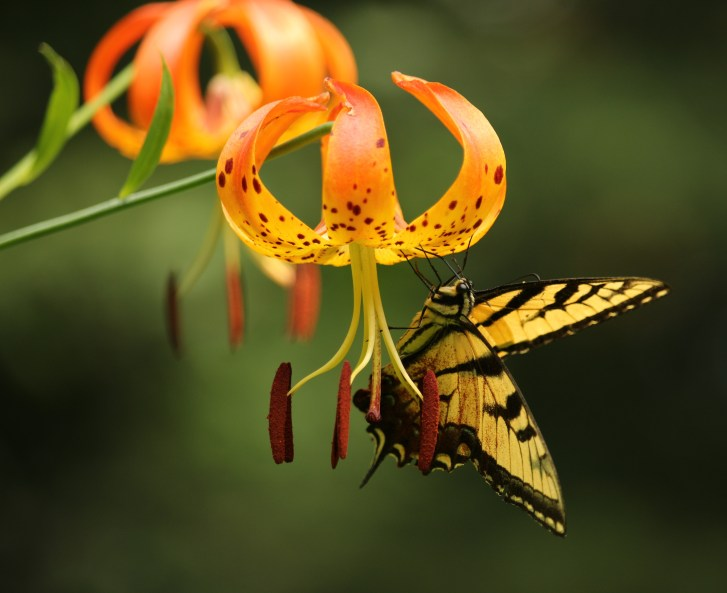3-lilium-superbum-and-eastern-tiger-swallowtail-butterfly