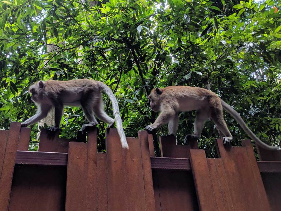 Thailand Beaches: Monkeys walk across the top of a fence