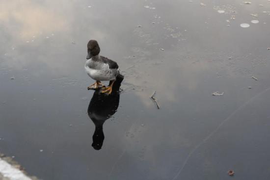 King of ducks 2