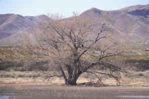 A bald eagle on the tree