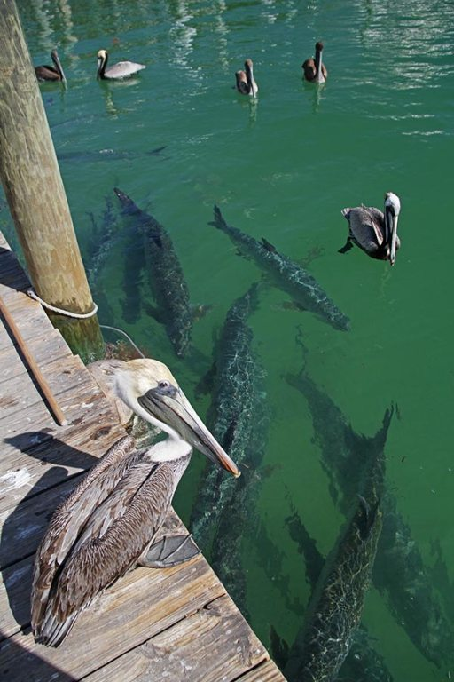 Tarpons and pelicans at Robbie's