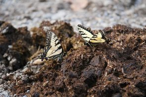 Swallowtail Butterfly on horse poop