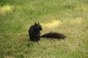 Apparently black squirrels are gonna take over the world