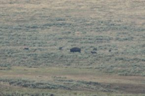 A pack of wolves checking a bison