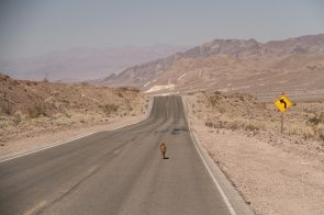 A coyote on the road