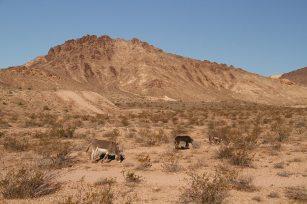We slept in Nevada and woke up around wild donkeys!