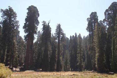 Different stages of sequoia growth