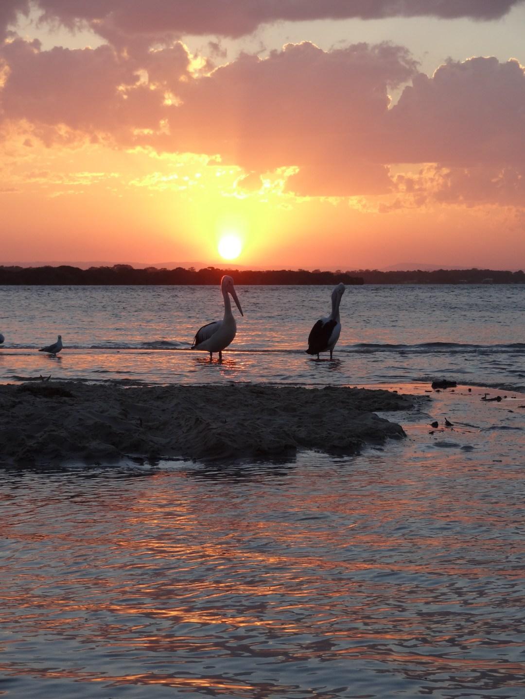 pelikany i zachód słońa