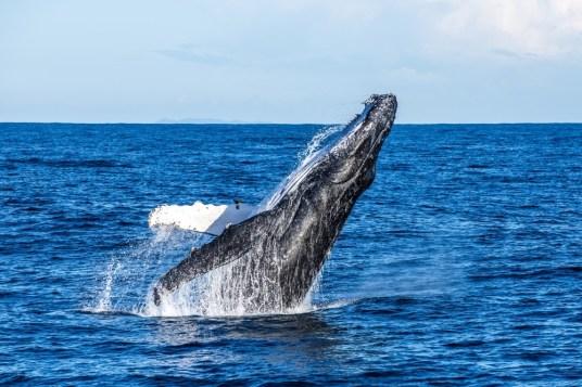 Humpback Whale Breach Credit Migration Media - Underwater Imaging